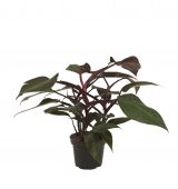 yb20200238t1-philodendron-jpg07new
